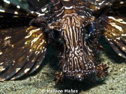 lion fish face by Mariano Mañas